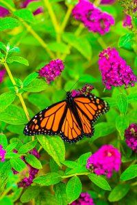 vlinderstruik stekken